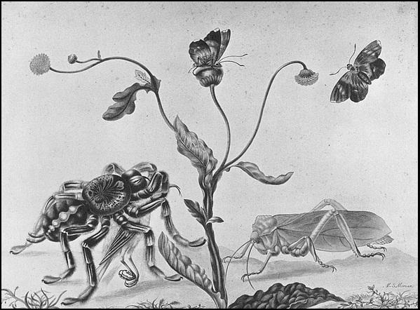 玛丽亚·西比拉·梅里安的名作《捕鸟蛛》