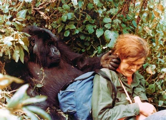 戴安·弗西与大猩猩在一起