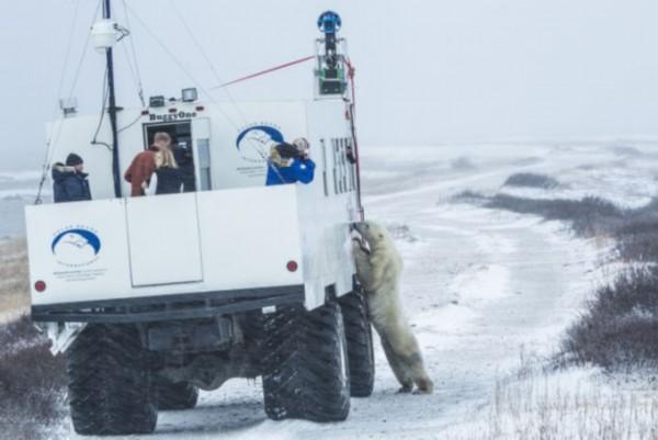 北极熊遇谷歌街景车求上镜